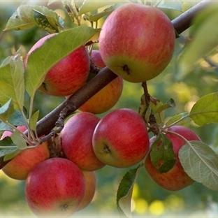 Amasya Elması Gençlik İksiri