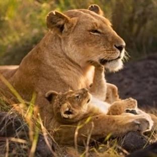 Aslan Burcu Anneleri