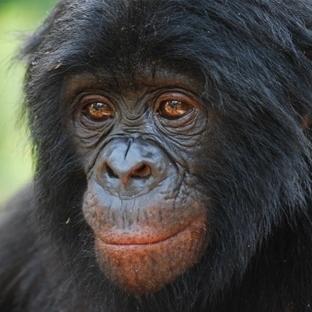 Bonobolar fedakarlığın kökenlerini anlatıyor