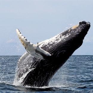 Balinalar suda nasıl nefes alıp verir?