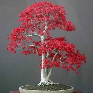 BONSAİ BİTKİSİ VE DEKORASYON