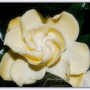 Gardenya Çiçeği, Yetiştirilmesi ve Bakımı