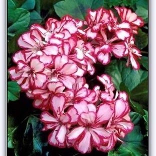 Sardunya Çiçeğinin Bakımı ve Çeşitleri