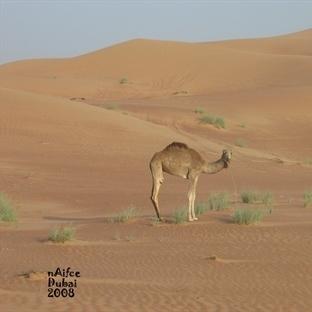 DUBAİ, ABRA'lar ile ÇÖL SAFARİ