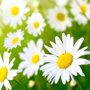 Güzel ve Sağlıklı Bir Cildin İhtiyacı; Papatya Mas