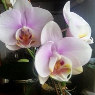 Orkidelerin 12 Ay Çiçekli Görünmesi İçin Minik Bir