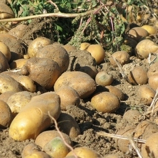 Patates kabuğunun faydaları