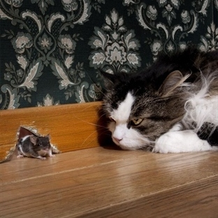 Kediler Fare Yer mi?