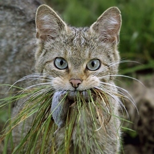 Kediler Neden Avlarını Eve Taşır?