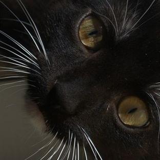 Kedilerin Bıyıkları Ne İşe Yarar?