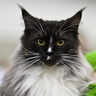 Kedi Hırlaması Ne Anlama Gelir?