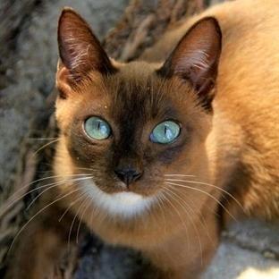 Kediler Adet Görür Mü?