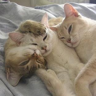 Kediler Çiftleşirken Neden Isırır?