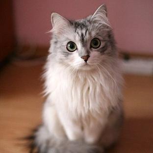 Kedilerin Kaç Memesi Vardır?