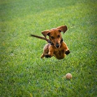 Köpekler Neden Bir Şeyleri Kovalar?