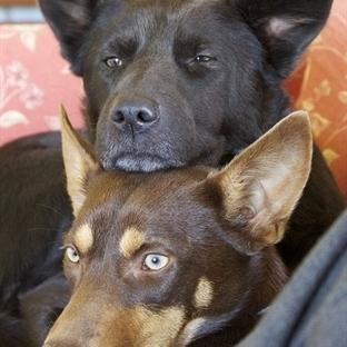 Köpekler Yılda Kaç Kere Çiftleşir?