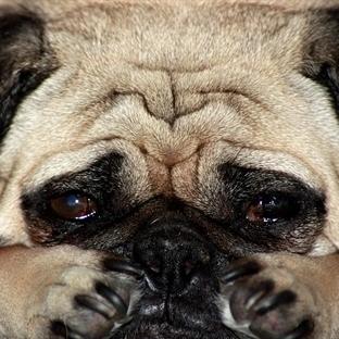Köpeklerde Stres Ve Stres Belirtileri