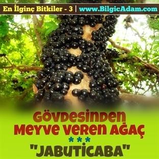 Gövdesinden Meyve Veren Ağaç - Jabuticaba