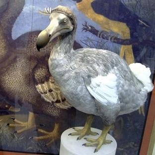 Dodo Kuşu : Nesli Tükenen Hayvanlar