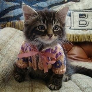 Hırka giymiş sevimli kediler