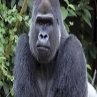 Kahve Falında Goril Görmek