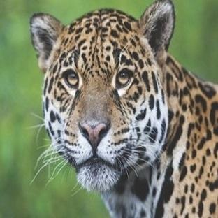 Kahve Falında Jaguar Ne Anlama Gelir?