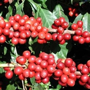 Kuraklık Beklentisi Kahve Fiyatlarını Yükseltiyor