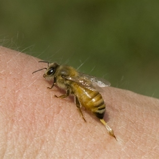 Arı Sokmasına İyi Gelen Öneriler