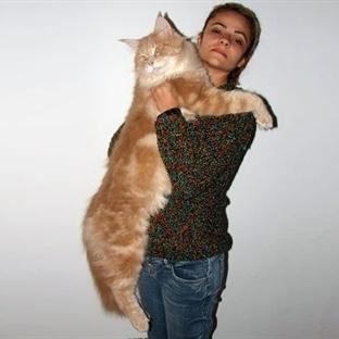 Daha Önce Hiç Bu kadar Büyük Kedi Görmediniz!