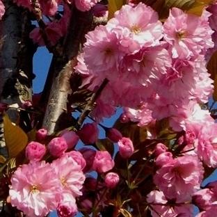 Sakuralar Çiçek Açtı!