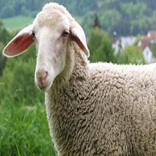Fahve Falında Koyun Görmek