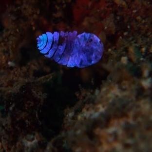 Görünmezliğin Sırrı  Deniz Safirinde Olabilir