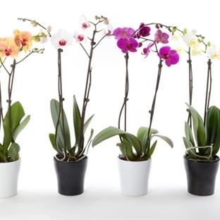 Orkide Bakımı Hakkında Bilmeniz Gereken 7 Şey