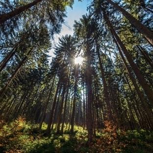 Dünyadaki toplam ağaç sayısı belli oldu