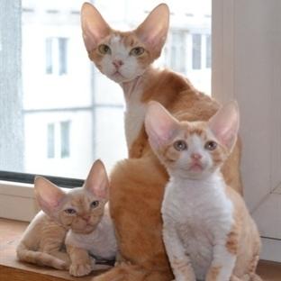 Neden Bazı İnsanların Kedi Alerjisi Var?