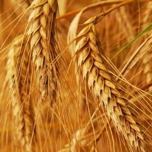 Buğday Rüşeymi ve Faydaları