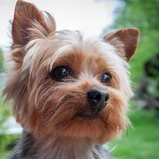 Dünya'nın En Küçük 7 Köpeğin Sevimli Halleri