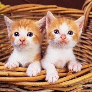 Kedi Mırıltısının Tedavi Edici Gücünü Hissedin