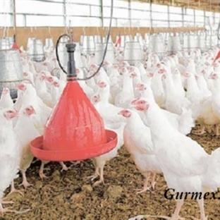 Sağlıklı Diye Yediğiniz Tavuklar Tavuk Değil!