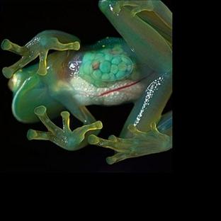 Büyüleyici Şeffaf Kurbağa