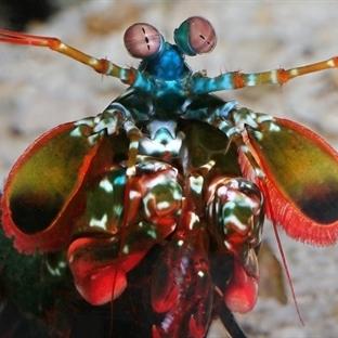 Dünyanın En İyi Gören Canlısı Mantis Karidesi