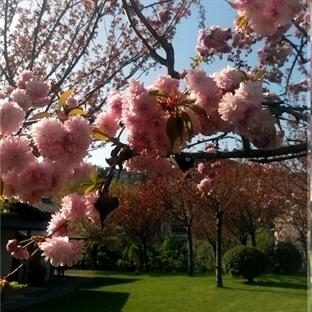 Japon Bahçesi'nde Sakuralar