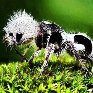 Kraliçesi Ve Cinsiyet Ayrımı Olmayan Panda Karınca