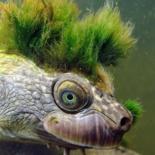 Punk Tosbağa Mary River Kaplumbağası