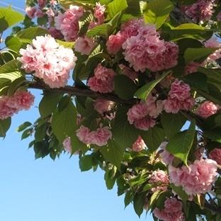 Sakura Zamanı (Bitiş)