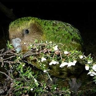 Uçamayan Papağan Kakapo
