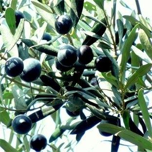 Kadim dostumuz 'zeytin ağacı' ve bir zeytin hasadı