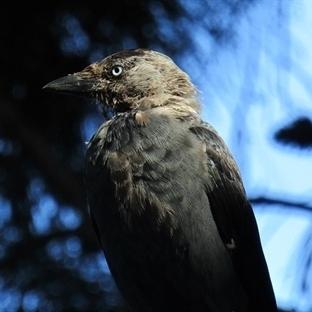 Bozcaada'nın Mavi Gözlü Kargaları