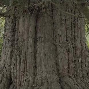 Türkiye'nin En Yaşlı Ağacı