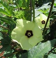 Bamya Çiçeği Nin Faydaları
